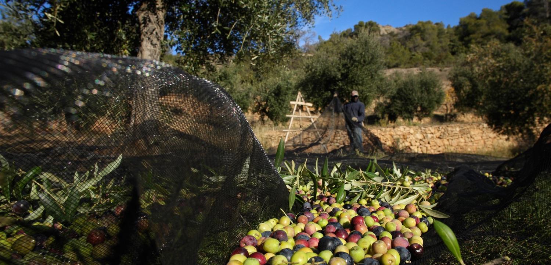 olives harvest priorat